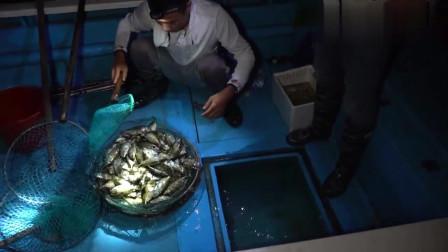 鱼群夜里躲在鱼排下睡觉,阿烽几人抓到几十斤,直接放鱼排煮了