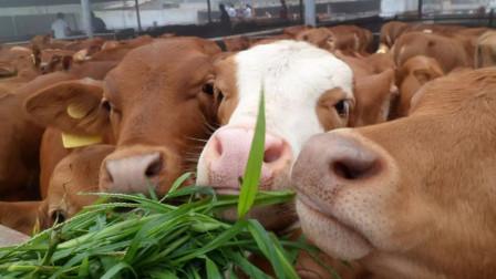 """1400万""""养野户""""面临转型,不少人选择养牛,牛价要断崖式下跌?"""