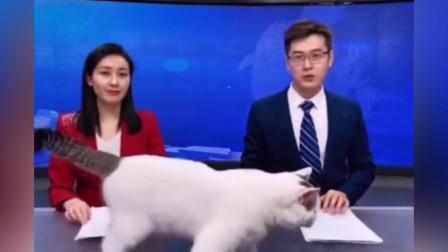 正在直播新闻联播呢,一只猫突然爬过来上镜了,有点调皮