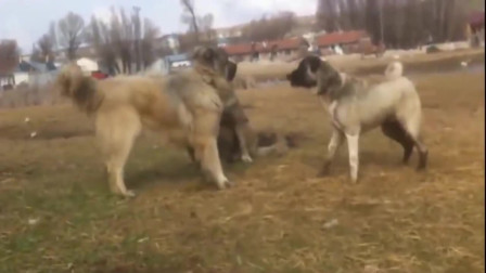猎狼犬VS俄罗斯高加索牧羊犬,牧羊犬看起来不太想战啊