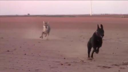 狗狗和郊狼谁更厉害
