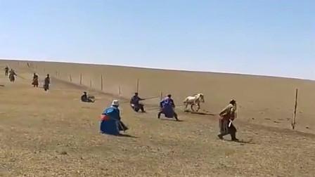 蒙古壮士套马这场面还是第一次见个个都是民间高手
