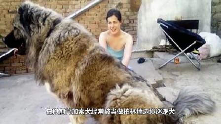 世界上最大的狗,三五分钟就可以KO藏獒,战斗力不容小觑
