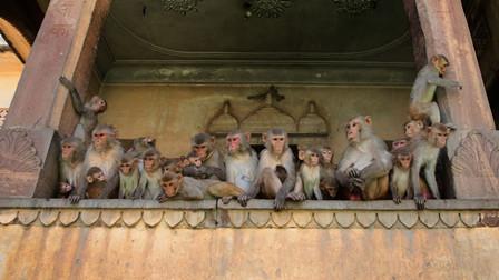 印度一群猴子抢走新冠患者血液样本 附近居民忧病毒传播