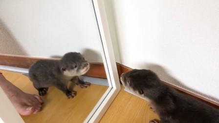 小水獭第一次照镜子,主人都要被它蠢哭了,这也太搞笑了吧