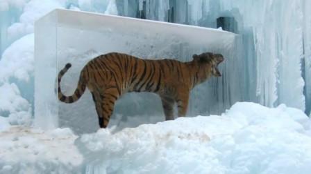 在冰中发现一只老虎?科学家推测,已经被冰封上百年了