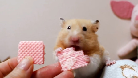 可爱的仓鼠宝宝躺在女主人身上吃威化饼, 最后还把饼干吃成了心形