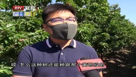 首都经济报道 2020 北京推广樱桃种植新技术  身高矮一半 产量增三倍