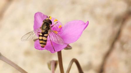 有种多肉植物叫一帆风顺,叶形像帆船,开粉色小花朵!