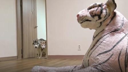 主人买了一只假老虎回来,狗狗看到后吓坏了,下一秒忍住别笑!