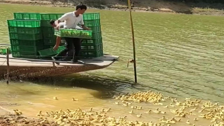 原来鸭王是这么练成的, 成千上万的小鸭子同时下水, 真是太惊艳了!