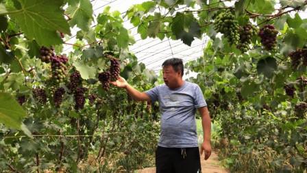 分享大棚葡萄管理经验,控产蔬果剪枝很重要,大家来欣赏了解下