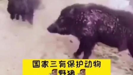 其实野猪也是国家保护动物