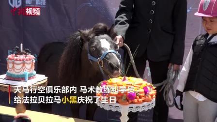 """""""世界上最小的马""""昆明庆生 独享胡萝卜生日蛋糕"""