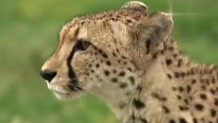 大自然:鬣狗妈妈闯入狮子领地,狮王悍然将其咬死,一口不吃将其丢弃!