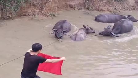 我感觉我家养了一群假牛,它们竟然看见红布就害怕,无语了!