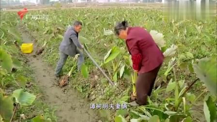 老广的味道:广州韶关的美味都藏在土里,每年12月,才是老广吃芋头的最好时节
