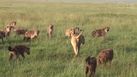 大自然:母狮女王被三十只鬣狗围住, 母狮却还悠哉进食, 霸气十足
