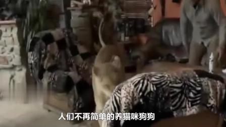 老外作死把猎豹当枕头,刚一躺下,意外还是发生了!