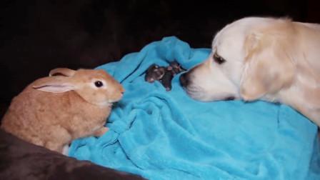 兔子生下一窝宝宝,狗狗以为是自己的孩子,寸步不离的守着
