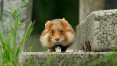 仓鼠漫步在维也纳的墓地寻找鲜花和蜡烛,竟然带来了滑稽的后果。