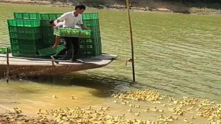 原来鸭王是这么练成的, 成千上万的小鸭子同时下水, 真是太惊艳了
