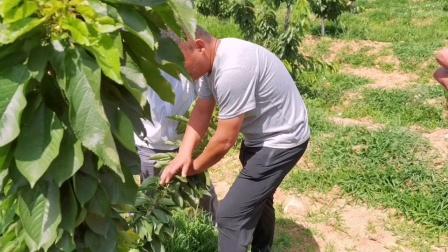 大樱桃树苗正确判断拉枝的时间,错误的管理导致夏季修剪复杂化