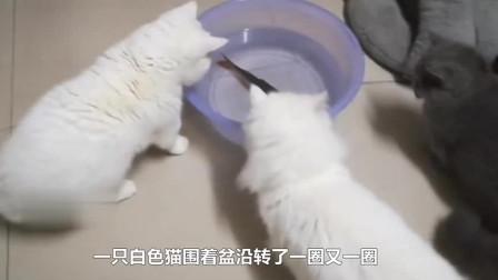 猫咪从鳄鱼嘴巴里抢食,竟一点都不带怕的,还一口一个嘎嘣脆!