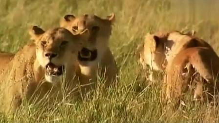 大自然:雌狮外出抵御雄狮,幼崽竟被鬣狗盯上!