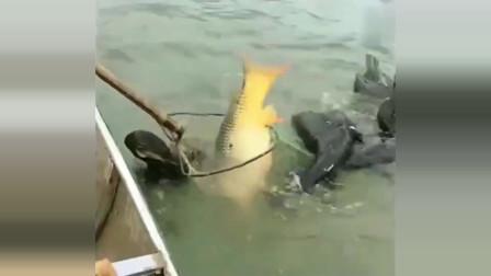 捕鱼:四只鱼鹰合力捕鱼,露出水面的那一刻,激动坏了!