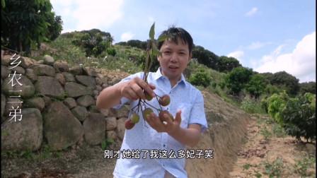 广西钦州嫁接的妃子笑,头年100棵荔枝树挂果,老农户正在摘荔枝