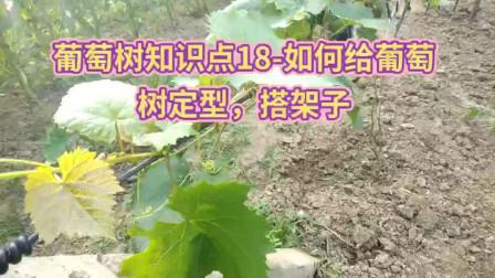 葡萄树知识点18-如何给葡萄树搭架子,形成好树形