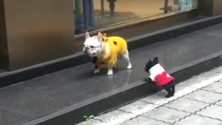 斗牛犬:铲屎官,你快看这小黑娃老跟着我,好烦的!