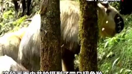 珍稀画面曝光!四川北川首次拍到国家一级保护动物扭角羚的活动影像