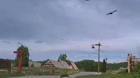 当老鹰遇到猫,老鹰捉猫,来看看猫的反应真是快啊,阿勒泰地区·喀纳斯禾木山庄