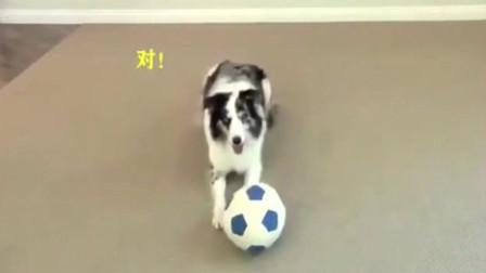汪界智商排名第一的边牧,到底有多聪明?二哈:你还算狗吗?