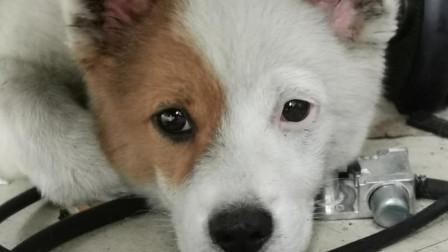 长相有特色的小萌狗名字叫馒头