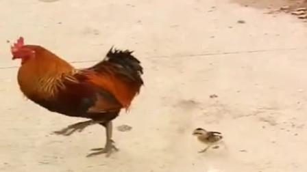 公鸡:你这个智障,不要跟着我了,我不是母鸡,认错了!