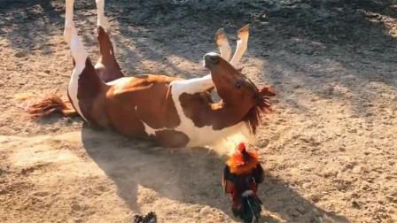 公鸡挑衅马儿吗?吓得落荒而逃,最后直接摔翻在地,这也太怂了吧。