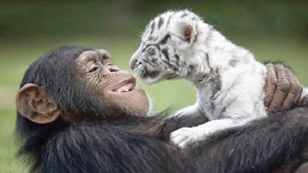 猩猩和老虎也能成为朋友?跨越种族的友情,网友:太有爱了!