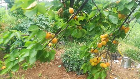 神谷峪甜杏
