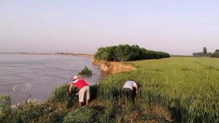 黄河边上:有些地种着种着就没了,黄河边的农民太不容易了