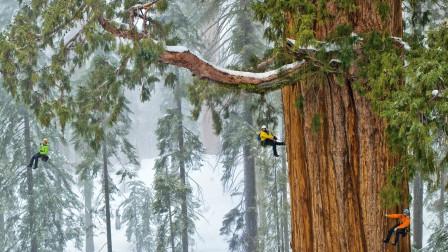 世界上最大的红杉树,商朝时期就存在了!树龄已有3200年