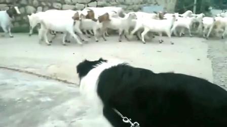 边牧:天赋异禀,第一次看到这么多羊,快放我去牧牧它们