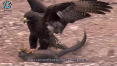 老鹰抓住一条巨蜥,没想到爪子反被巨蜥咬住了,镜头拍下全过程