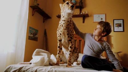 男孩捡到一只猎豹当宠物,像猫咪一样养在家里?