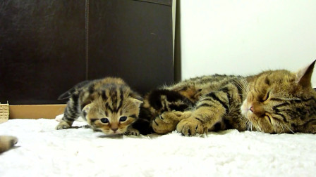 可爱的苏格兰短毛小猫,不吃奶,骚扰猫妈妈喂其他小猫,太可恶了