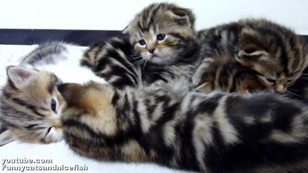 猫妈妈不在家,可爱的苏格兰虎斑小猫在打群架,场面不受控制!