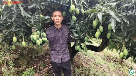 """芒果""""马秋苏""""品种产量大、口感好,适合加工成""""芒果干""""来销售"""