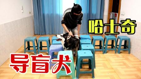 把二哈当成导盲犬使用,会是什么场面?